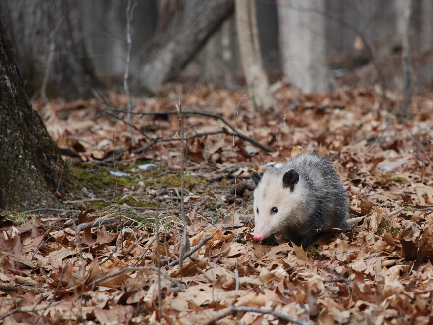 A possum sits in winter leaves