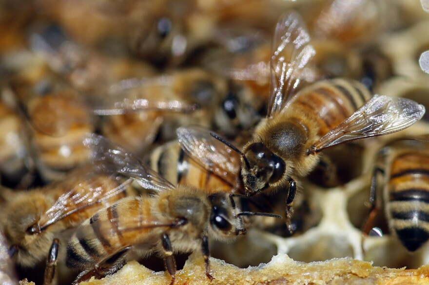 Honeybees are shown on a frame at beekeeper Denise Hunsaker's apiary, Monday, May 20, 2019, in Salt Lake City. (Rick Bowmer/AP)