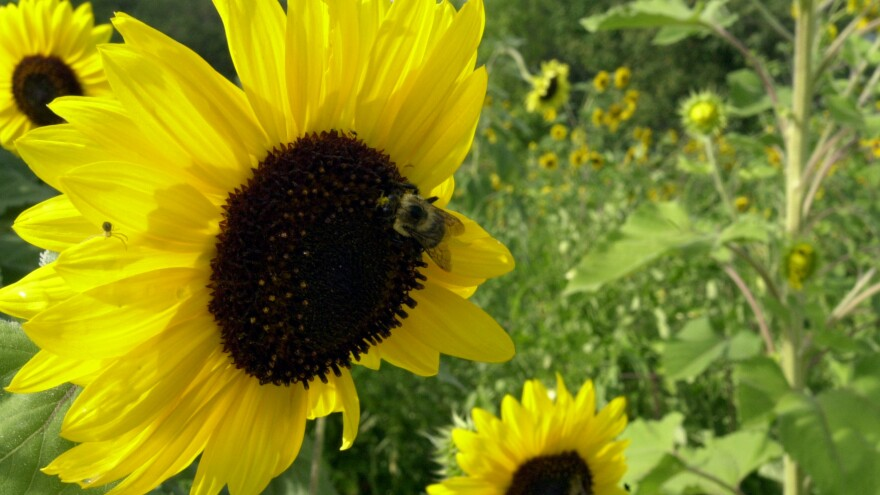 A bumble bee gathers pollen in September 2007 on a sunflower at Quail Run Farm in Grants Pass, Ore., where farmer Tony Davis depends on them to pollinate crops. Bees are being wiped out by a mysterious condition known as colony collapse disorder.