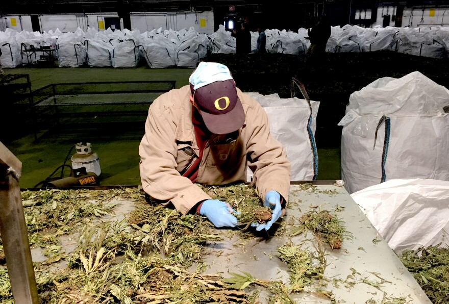 Image of man sorting plants on a metal table.