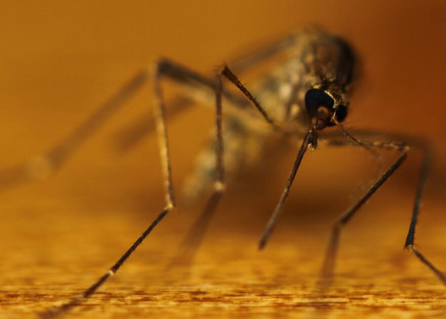mosquito gamma man.jpg