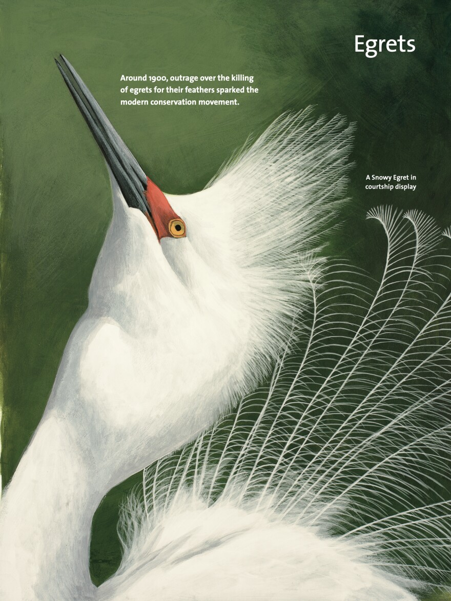 A page on Egrets from David Allen Sibley's <em>What It's Like To Be A Bird.</em>