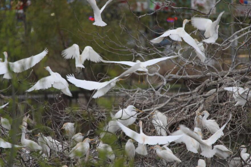 Egrets and other bird species can be found on a rookery island at Elmendorf Lake Park.