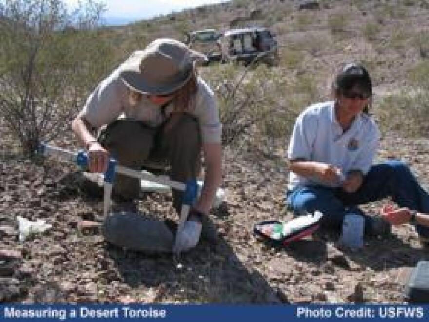 US Fish and Wildlife workers measure a desert tortoise.
