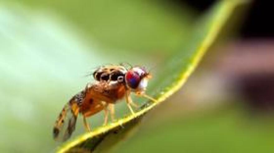 OxitecMosquito.jpg