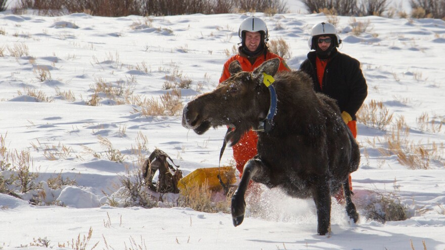 University of Wyoming researchers Matt Kauffman (right) and Kevin Monteith release a cow moose during a GPS collar migration study near Daniel, Wyo. Research has found that animals learn to migrate over several generations and pass that knowledge to other members of their herd.