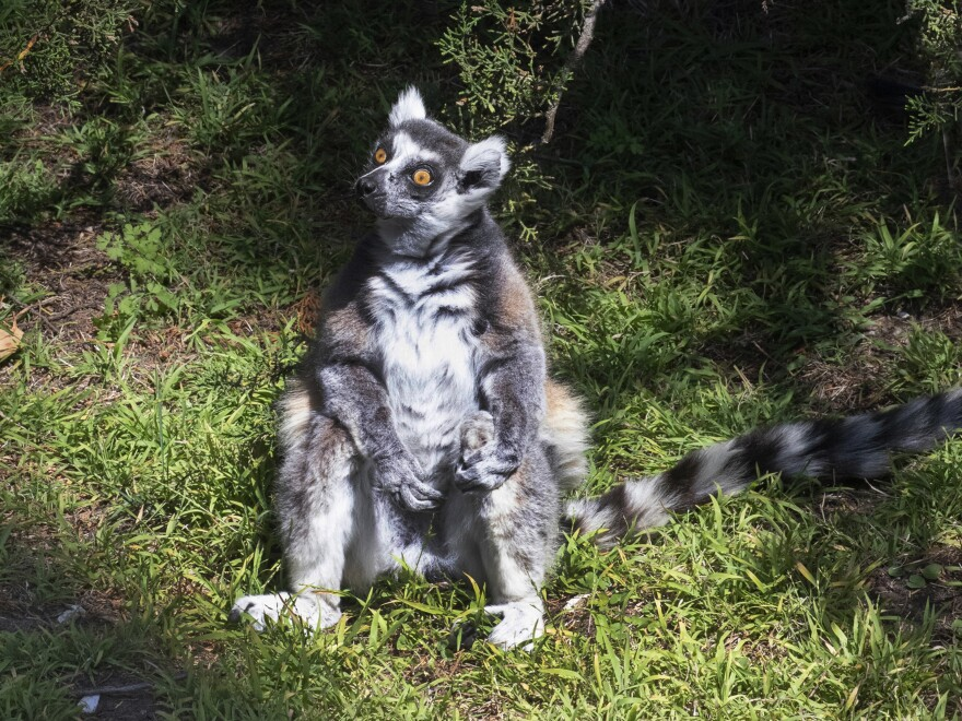 Maki, the 21-year-old male ring-tailed lemur was discovered missing shortly before the zoo opened to visitors, zoo and police officials said. They're seeking tips from the public in hopes of finding the lemur, explaining that Maki is an endangered animal that requires specialized care.