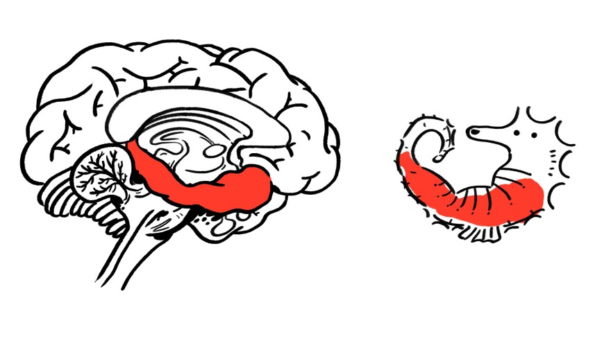The name hippocampus comes from the Greek word for seahorse. It's a part of the brain involved in emotion and memory.