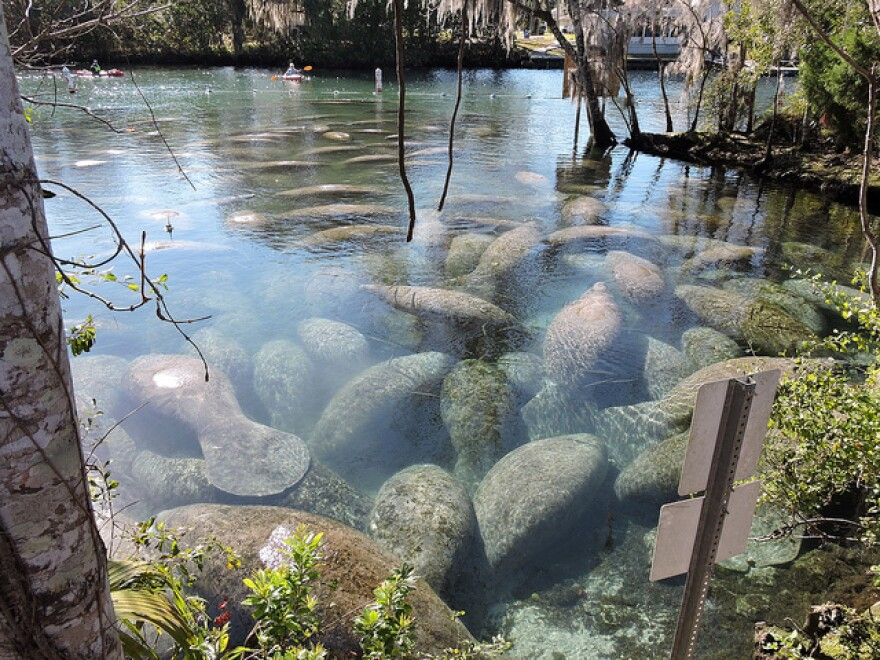 Manatees gather in warm water at Three Sisters Springs in Crystal River in March, 2015. Kayakers can be seen in the background, separated from the manatees.