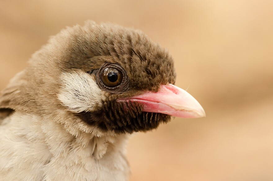 A male greater honeyguide in the Niassa National Reserve, Mozambique.