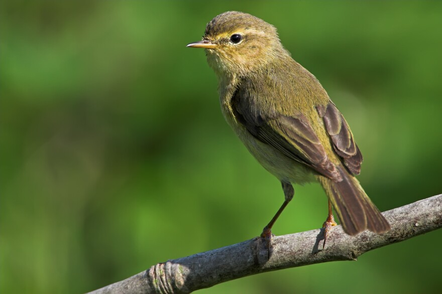 Does that chiffchaff sound chirpier to you? Ornithologists say the homebound are just noticing the sounds of birds more.