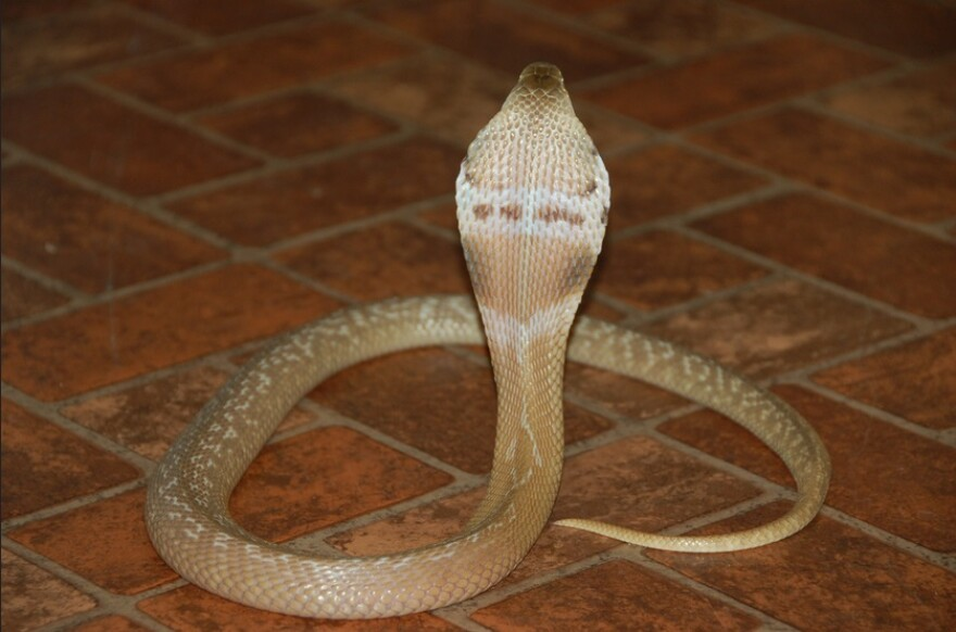 A monocled cobra, an example of a non-native venomous reptile