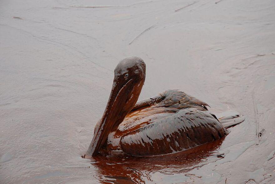 800px_oiled_pelicans.jpg