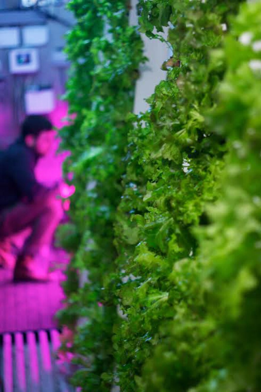 Lettuces, brassicas and herbs grow in a Freight Farms container.