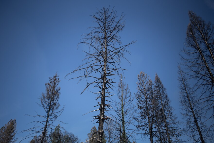 A burned tree stands in a neighborhood that was destroyed by the fire. Efforts to remove debris, including damaged trees, were delayed due to weather.