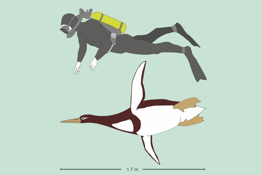 An illustration comparing the giant penguin to an average person. <em>Kumimanu biceae</em> weighed about 220 pounds and was a bit shorter than 6 feet in height. It swam around off the coast of New Zealand between 55 and 60 million years ago.