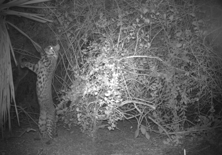 On March 29, a young ocelot male was first detected by remote cameras at Laguna Atascosa National Wildlife Refuge. The detection of a new young ocelot makes researchers hopeful for the endangered population.
