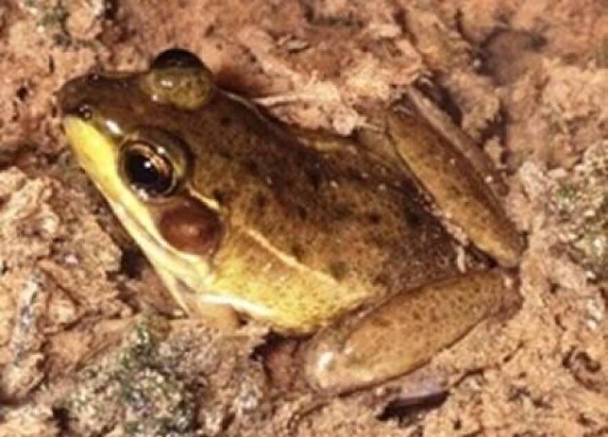 florida-bog-frog-enge.jpg