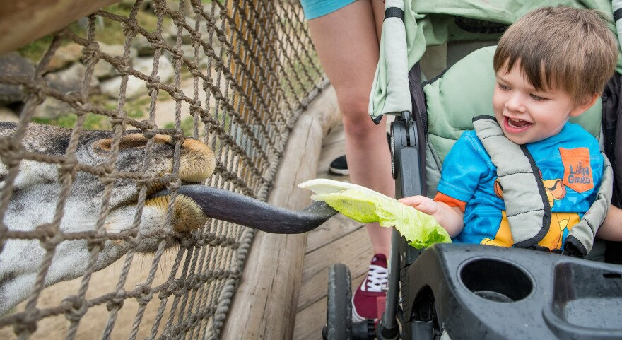 photo of child feeding giraffe with long tongue