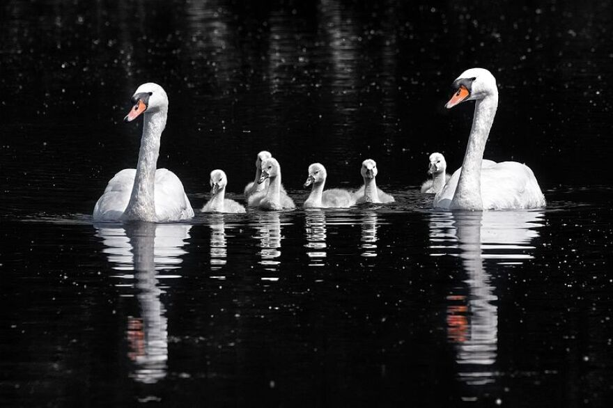lakeland_swans_9-5.jpg