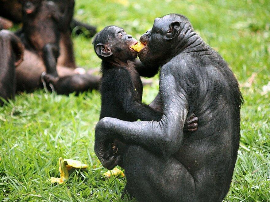 Bonobos sharing food and friendship.