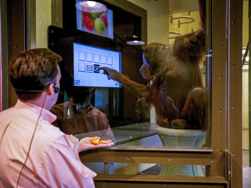 Rob Shumaker, who directs the Indianapolis Zoo, works with Rocky in a project testing the orangutan's ability to recognize and respond to symbols that appear on a touch screen.