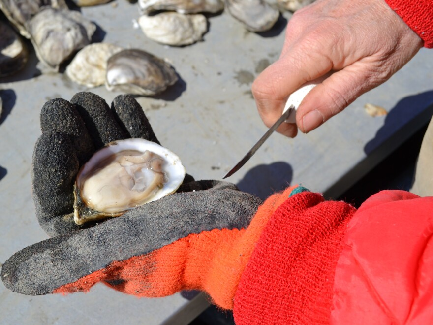 Lisa Calvo sorts her Sweet Amalia Oysters near Cape May, N.J. Most days, Calvo's entire crew is female.
