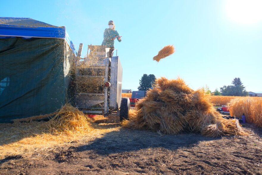 Hannah Turner tosses barley at Post Agronomy Farm in Bozeman September 5.