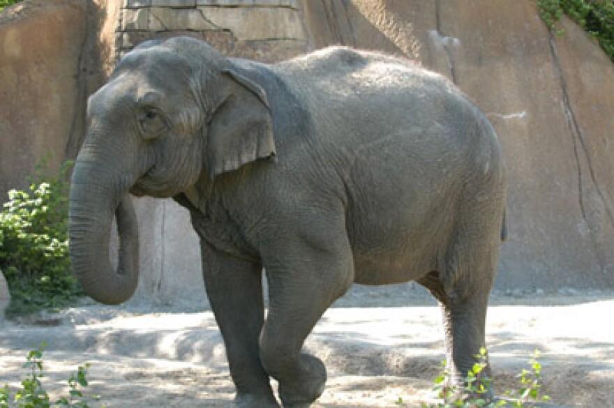 Donna-elephant_sm_Saint-Louis-Zoo.jpg
