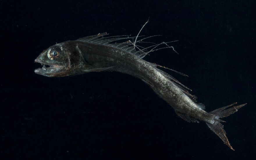 Researchers found plastic in the stomachs of one out of every three lancetfish they studied.