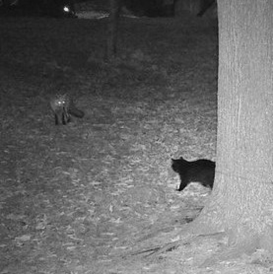 A domestic cat and a red fox face off in a photo captured by a St. Louis Wildlife Project camera.