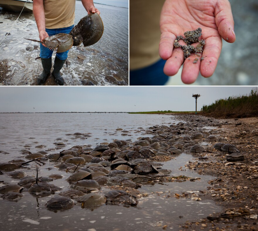At high tide thousands of mating horseshoe crabs gather along the water's edge. Migrating red knots roughly double their body weight in 10 days of gorging on the crabs' fatty eggs.