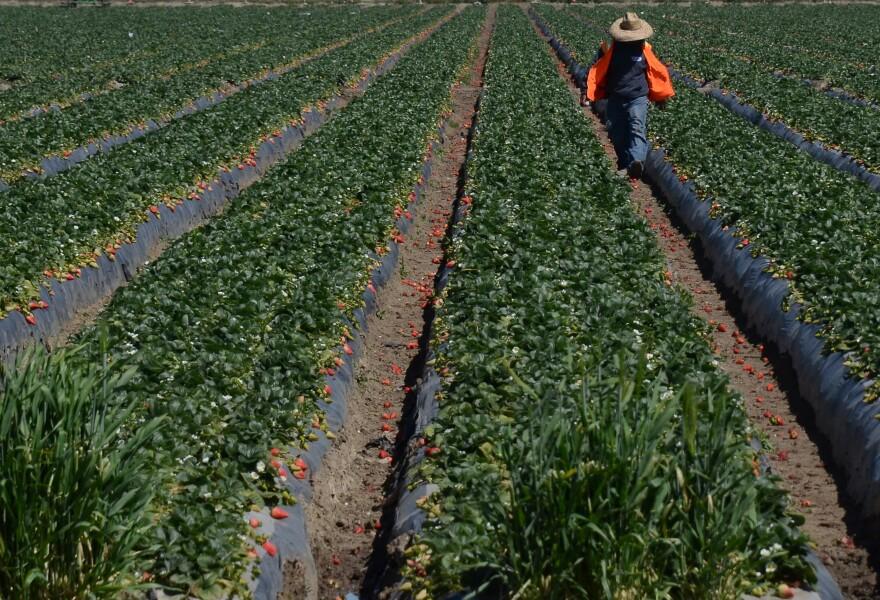 Migrant workers harvest strawberries at a farm near Oxnard, California. (Joe Klamar/AFP/Getty Images)