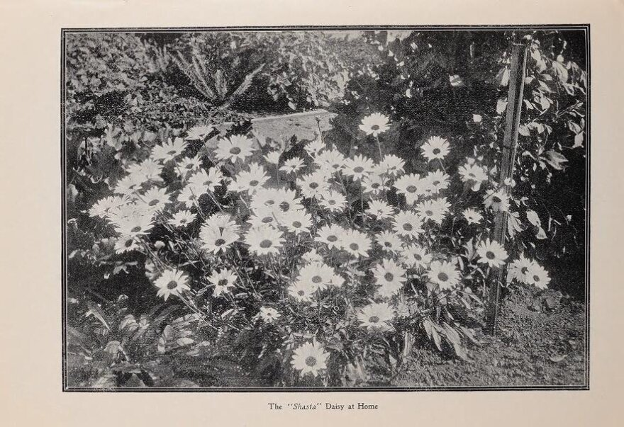 Luther Burbank also introduced the Shasta daisy to gardens around the world, and the potato variety whose offspring is used by McDonald's to make its iconic fries.