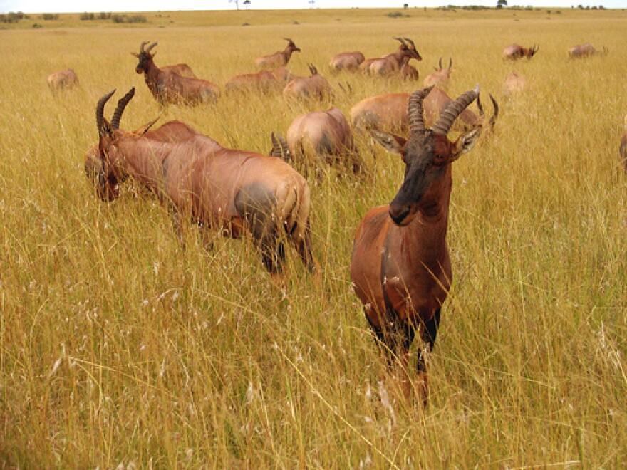 africanantelope.welsnet.jpg
