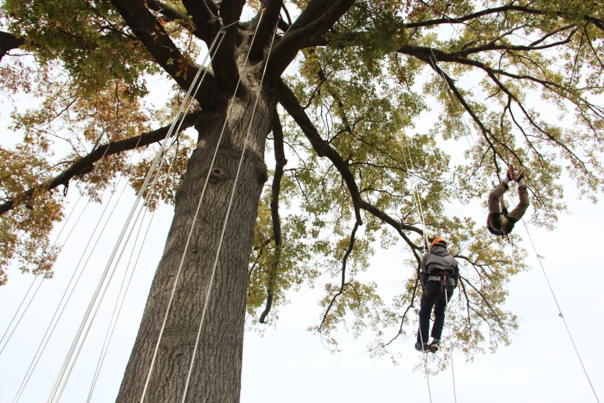 Middle school students dangling from ropes in a big oak tree.