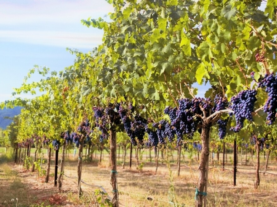 After grapes are harvested and pressed, WholeVine Products takes the leftover seeds, stems and skins and turns them into a flour substitute. Some pomace also becomes grapeseed oil.