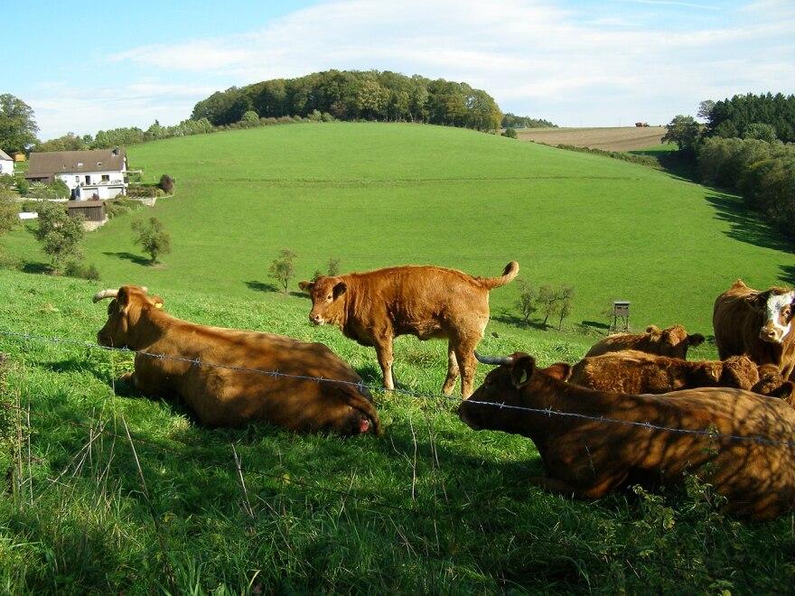 cows_on_farm.jpg