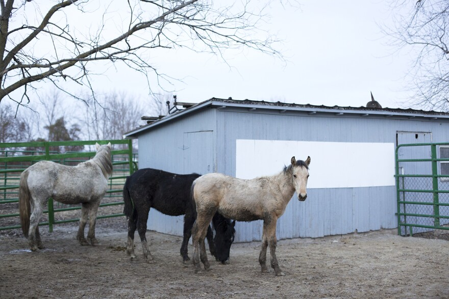 Newly arrived rescues settle in at the Legendary Mustang Sanctuary in December.