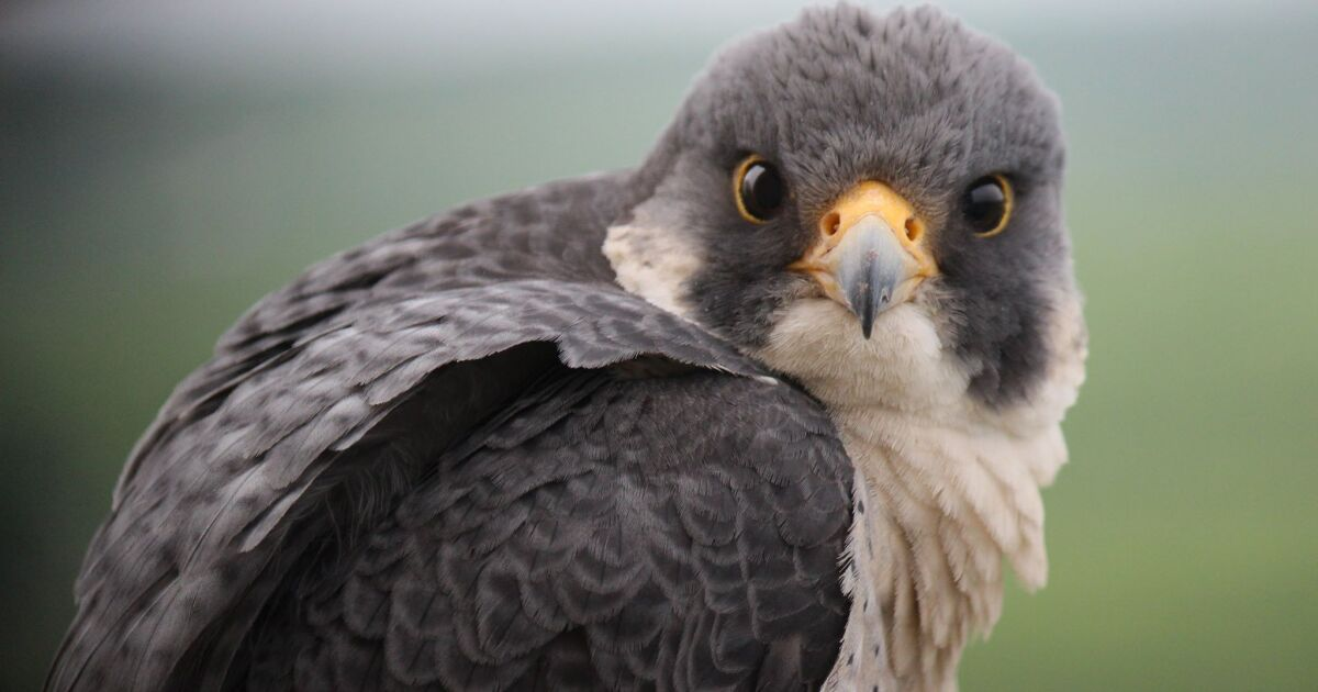 Kansas City Real Estate Is Becoming Popular Among Peregrine Falcons – KCUR
