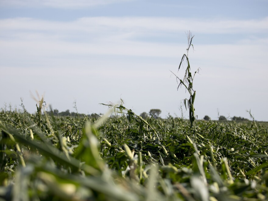 Corn plants are shown pushed over in a storm-damaged field on August 11 in Tama, Iowa. Iowa Gov. Kim Reynolds said that early estimates indicate that 10 million acres, or nearly a third of the state's crop land, was damaged in a powerful storm that battered the region a day earlier.