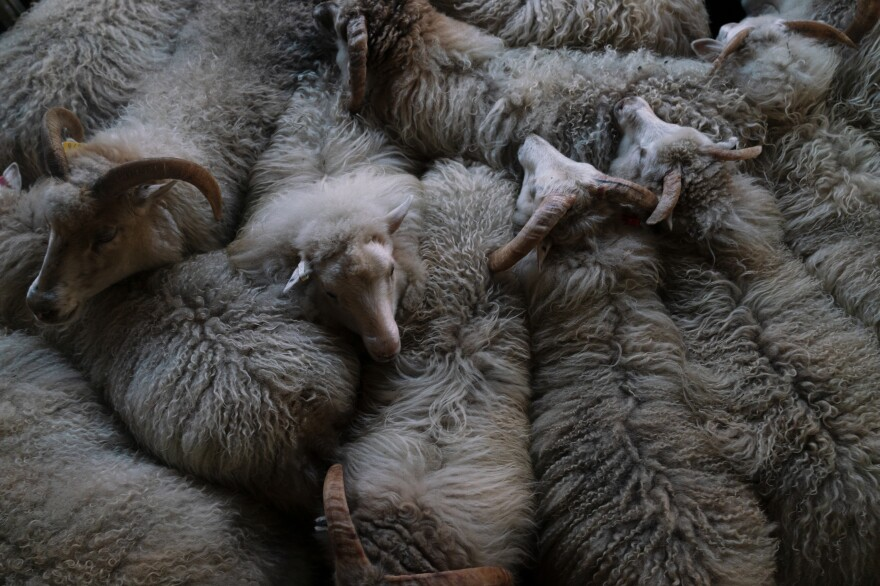 Sheep huddle together inside the barn after being rounded up for the winter.