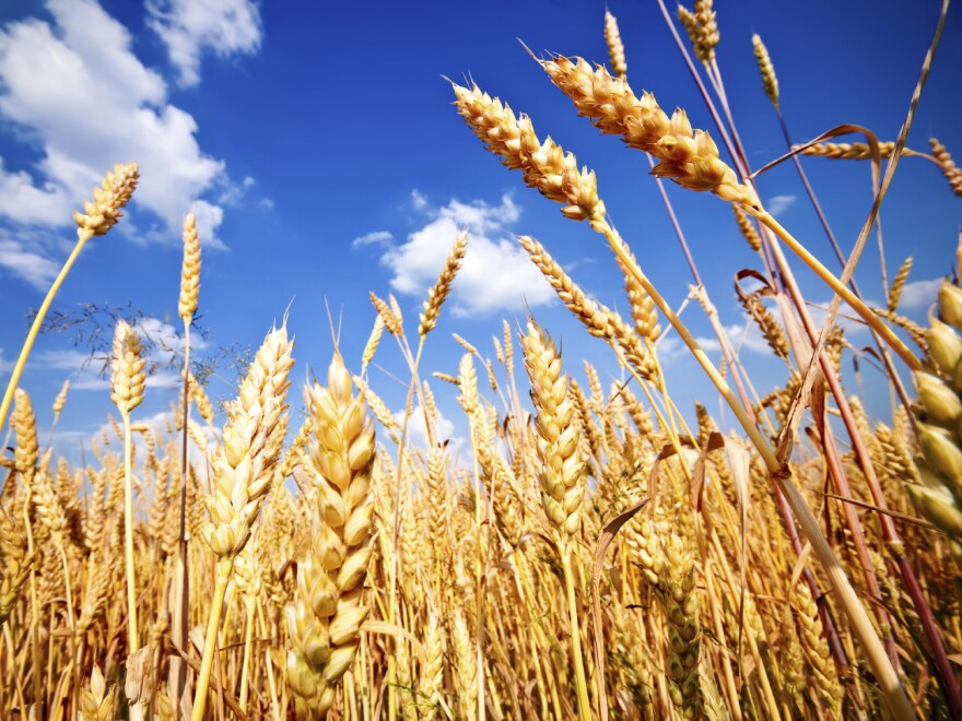 Wheat fields like this one could yield wheat with less zinc and iron in the future if they are exposed to higher levels of CO2, according to the journal <em>Nature.</em>