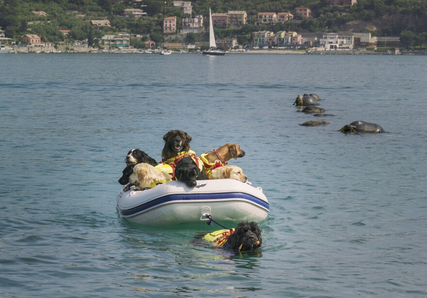 Reef (in the water) is a Newfoundland who works with the Italian Coast Guard. She also works as an instructor, modeling behavior for rescue dogs in training.