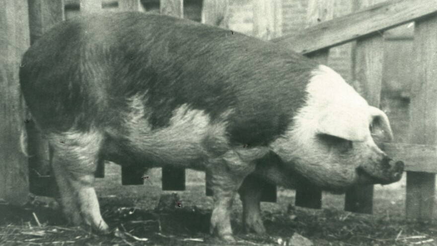 King Neptune, a 700-pound pig who lived on a southern Illinois farm, was used as a gimmick by a Navy recruiter to help raise funds during World War II.