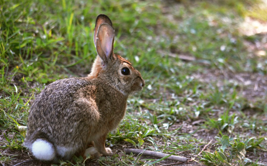 cottontail_rabbit_cc-by.png