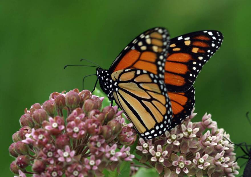 A monarch butterfly drinking from a milkweed flower.