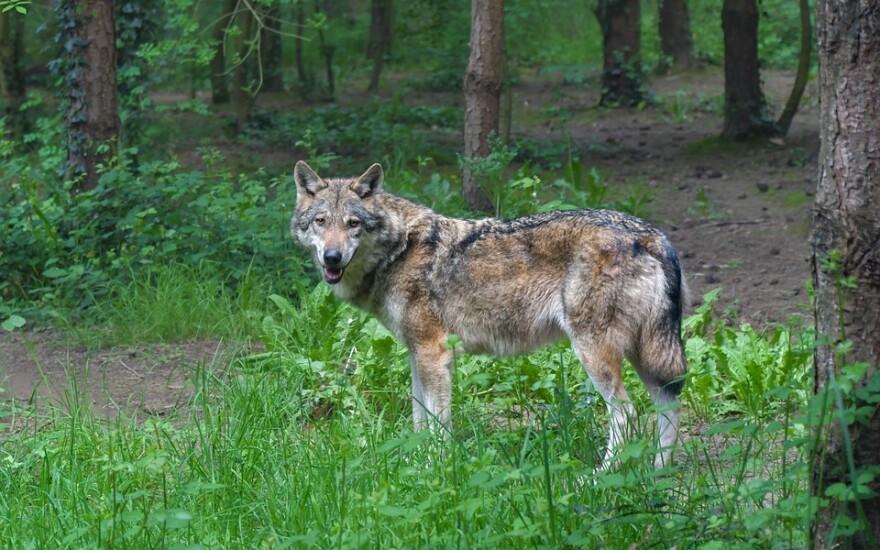 gray_wolf_2_pixabay.jpg