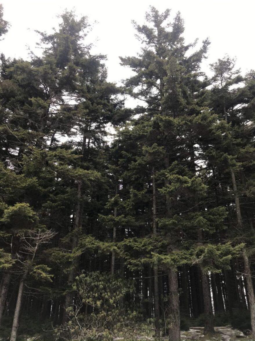 spruce_trees_0.jpeg
