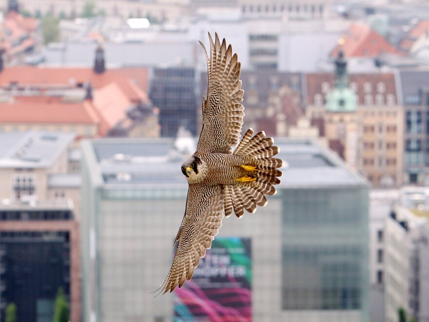 A peregrine falcon in Germany. A new study finds the birds are able to dive at high speeds and catch moving prey using a mathematical principle that also guides missiles.